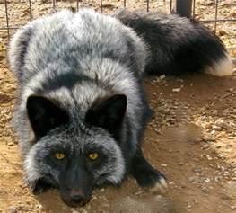 domesticated silver fox want foxy pinterest silver foxes domesticated silver fox and