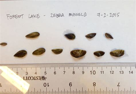 minnesota boat drain plug law zebra mussels confirmed in popular washington county lake