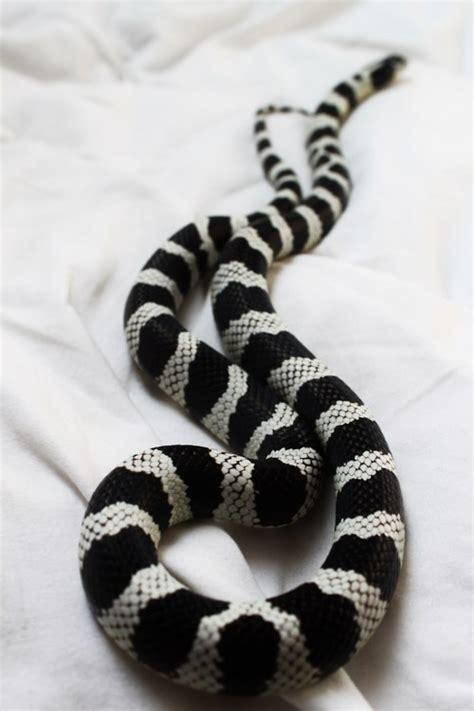 snake pattern black and white striped corn snake tumblr