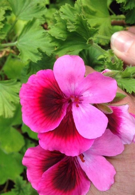 scented geranium mixed 6 plant combo free shipping awesome collection ebay