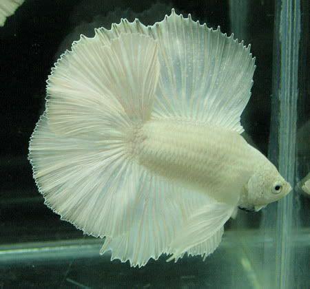 Makanan Ikan Cupang Fancy white halfmoon betta fishes fancy bettas