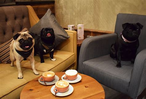 what you need to about pugs a pug cafe is coming to all you need to