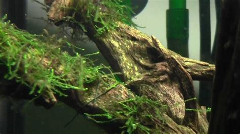 java moss aquascape tips on java moss youtube