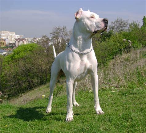 dogo argentino dogo argentino razas de perros mascotas
