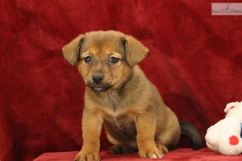 shiba inu puppies for sale near me mixed other puppy for sale near lancaster pennsylvania 63e8dfa8 e2d1
