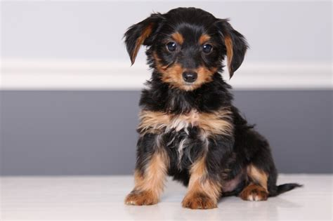 yorkie and dotson mix dorkie dachshund yorkie mix facts pictures information lifespan animals adda