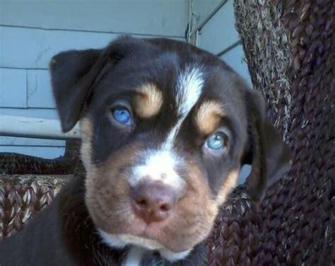 pitsky puppies pitbull husky mix pitsky puppies pitbull mix