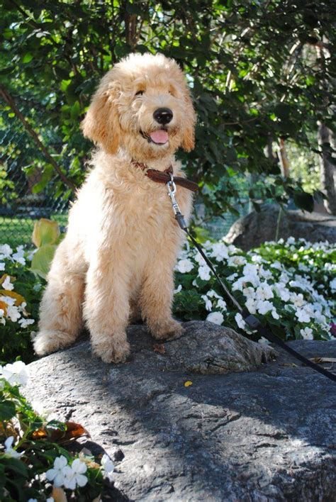 mini goldendoodles louisiana 21 best images about goldendoodle grooming ideas on
