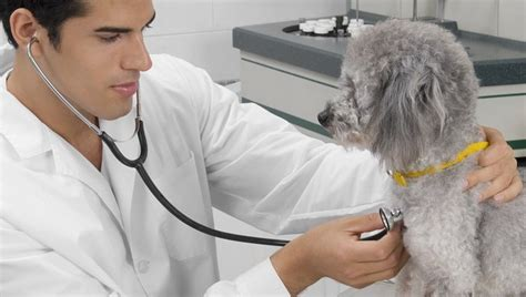 pulmonary hypertension in dogs pulmonary hypertension in dogs symptoms causes treatments dogtime