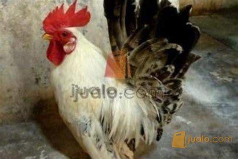 Jual Bibit Ayam Kung Yogyakarta jual ayam kate warna spesial sepasang murah yogyakarta jualo