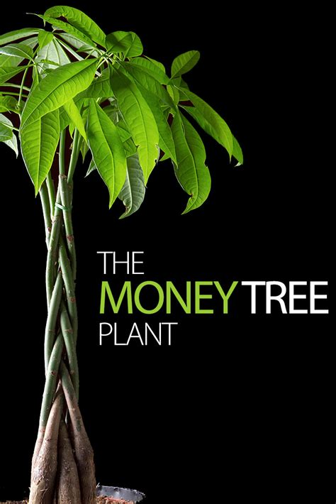 houseplant vine making the most of your money tree plant