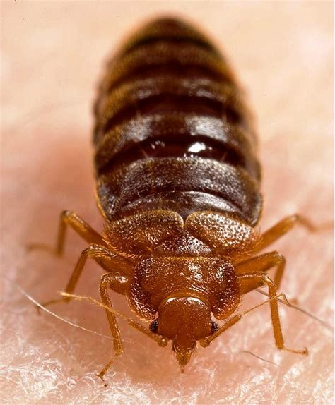bed bug pic arrowpestcontrol pest control blog