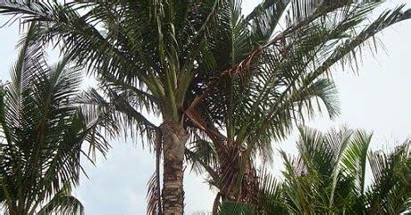 potensi daerah    provinsi maluku potensi pohon