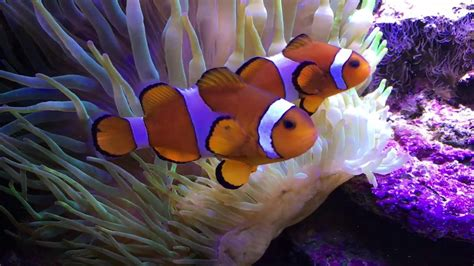 la chachipedia el pez payaso apexwallpaperscom el pez payaso y la an 233 mona youtube