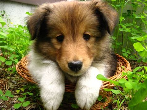 shetland sheepdog puppy shetland sheepdog puppies for sale from purebred breeders a nationwide organization