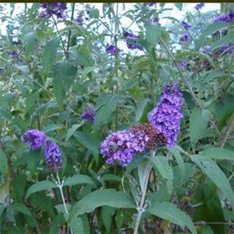 onlineplantcenter  gal nanho purple butterfly bush plant