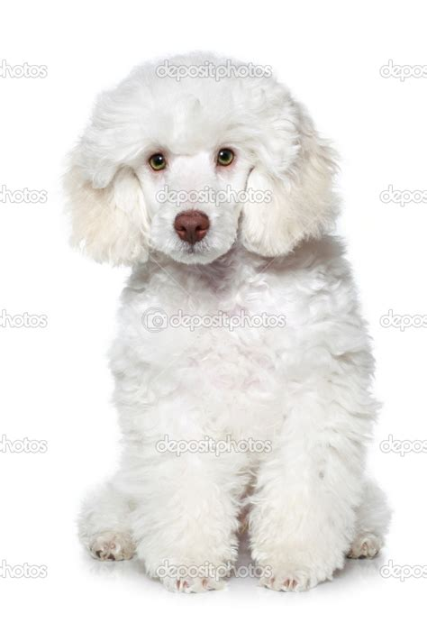 white poodle puppies puppy dogs white poodle puppy