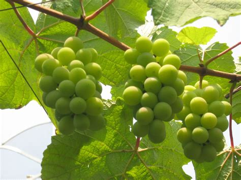 imagenes de los uvas kangris fruta sets frutas escandell
