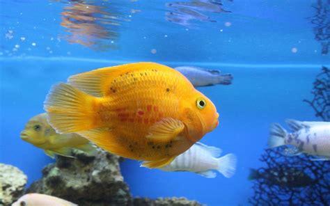 wallpaper for desktop fish fish desktop wallpapers wallpaper cave