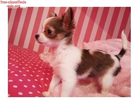 shollie puppies for sale pets for sale free pet classifieds on usfreeads buy free classifieds ads org lovely