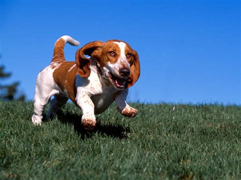 pictures of hound dogs hound dogs images bassett hound hd wallpaper and background photos 15363507