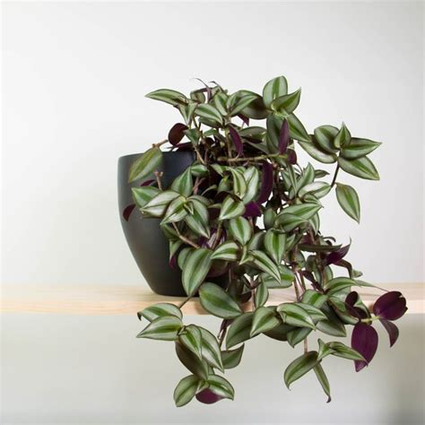 unique indoor plants houseplants for sale plant green plants awesome 82 best cool indoor plants images on pinterest cool
