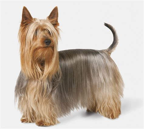 silky terrier breed information