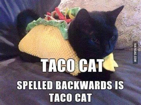 Taco Meme - 25 best ideas about taco cat on pinterest pusheen gif