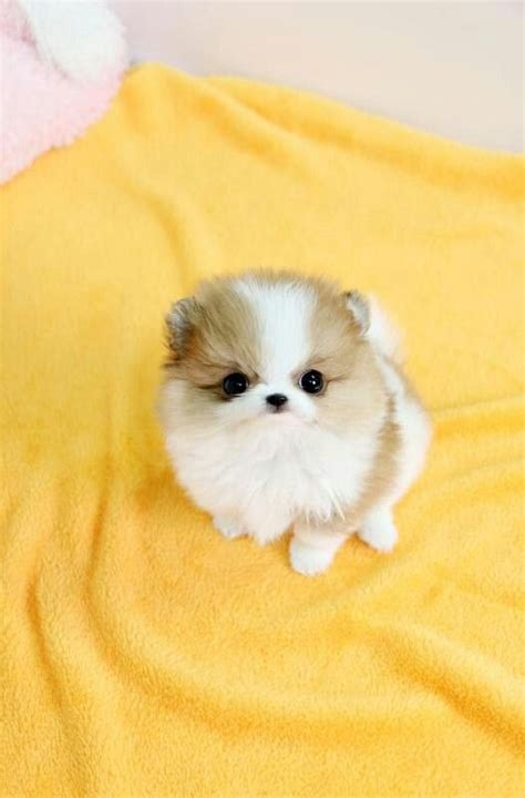 baby pomeranian puppies this is a teacup pomerian teacup and teacup pomeranian