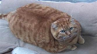 overweight cats obesity in cats prevalence health risks best food exercise for cat weight loss