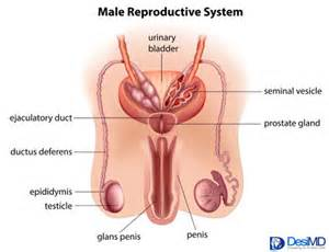 vas deferens present only in