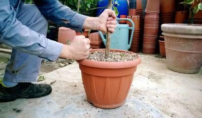 terriccio per limoni in vaso agrumi in vaso quando e come rinvarsare vita in cagna