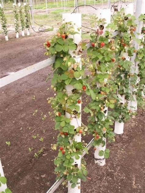 growing strawberries vertically creative gardening