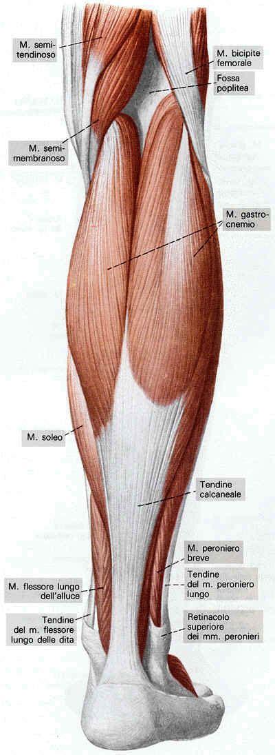 dolore al polpaccio interno potenziamento quadricipite per dolori al ginocchio caroldoey