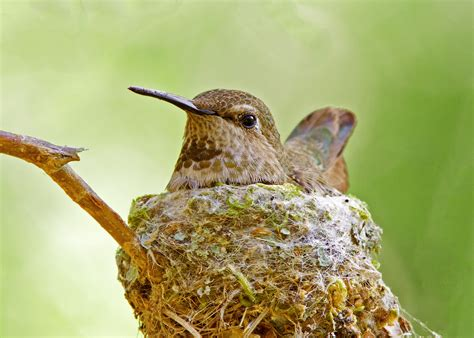 hummingbird nests might be vulnerable to gardeners