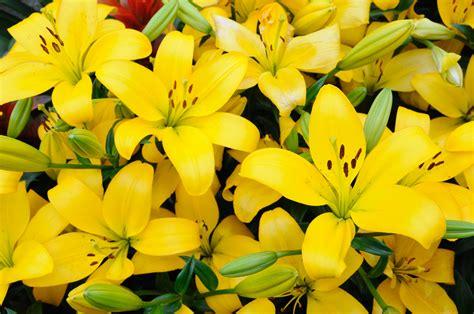 foto fiori gialli qual 232 il significato dei fiori gialli