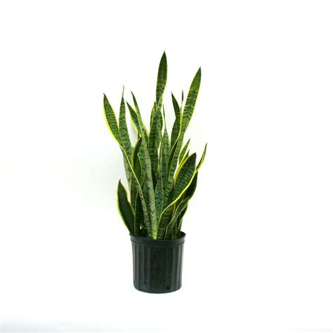 plant indoor indoor plants garden plants flowers garden center the home depot