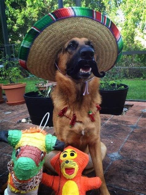 1000 images about gsd costume on pinterest