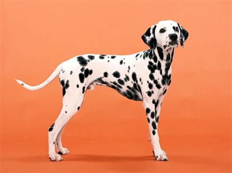 pictures of dalmatian puppies dalmatian personality appearances history and pictures inspirationseek