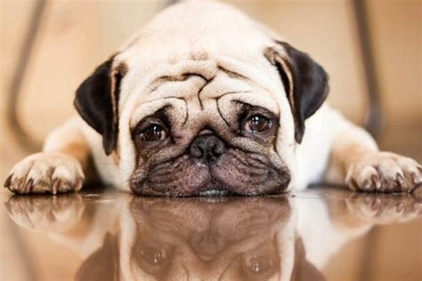 pug depression 17 best ideas about fighting depression on anxiety quotes anxiety and