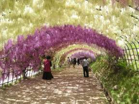wisteria flower tunnel japan cool places to see flowers the wisteria tunnel in japan