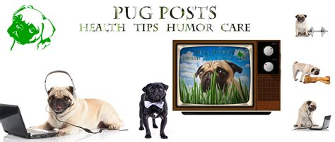 owning a pug pugs not drugs pug tips