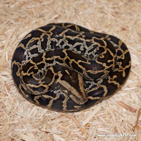 python heat l at burmese python burmese python