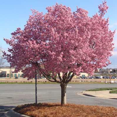 okame cherry tree prunus for sale brighter blooms nursery