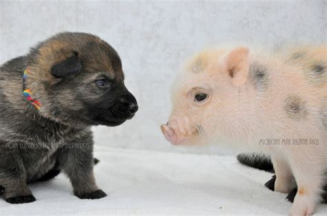 puppies and hiccups german shepherd puppies and newborn mini pigs make for the greatest of friends photos