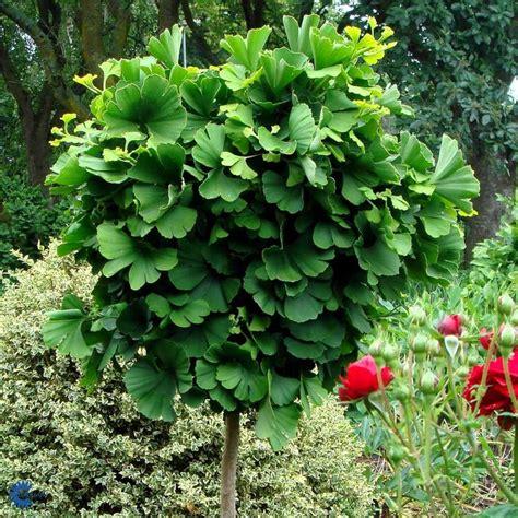 ginkgo biloba mariken 736 25 best ginkgo biloba images on shrubs diy