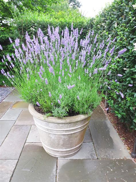 cosy carolina lavender in pots not provence