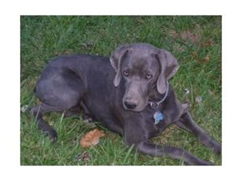 weimaraner puppies for sale in nc weimaraner puppies for sale