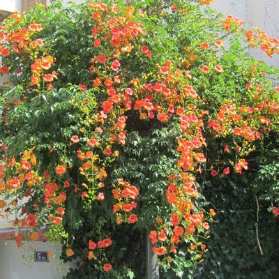 Plante Grimpante Orange by Bignone Orange Grimpante Sur Mur Blanc Jardin