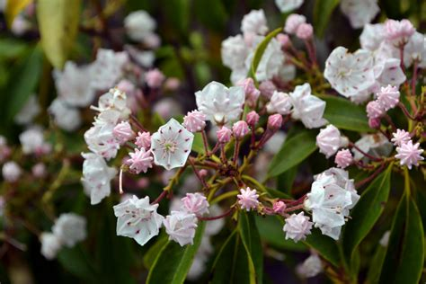 Container Gardening Blog - mountain laurel a shade tolerant native with beautiful blossoms brooklyn botanic garden